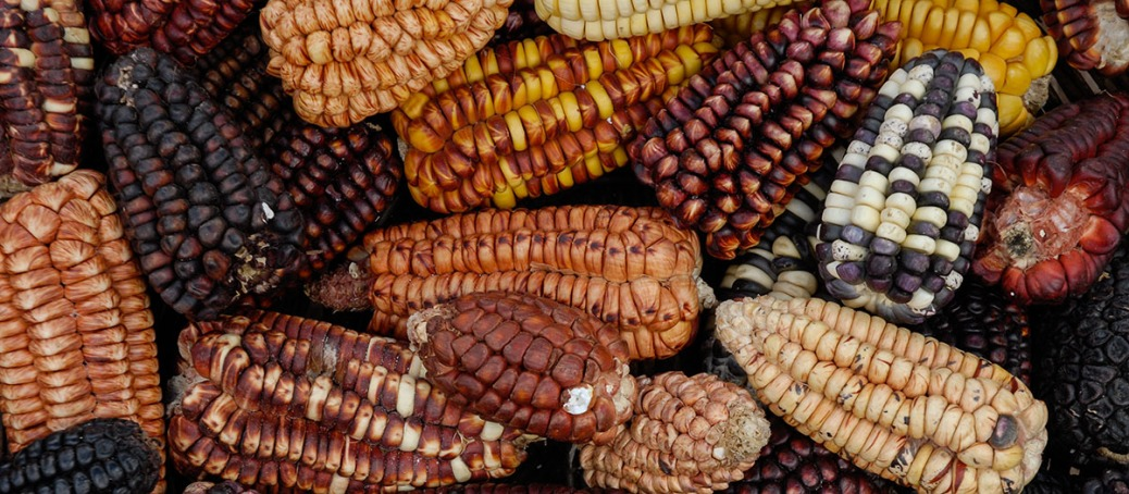 Image of multicolored corn from Cuzco, Peru