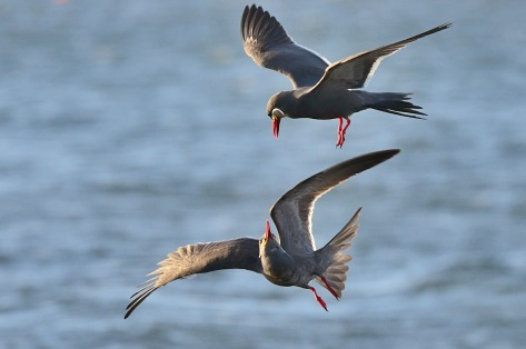 Photo of a pair of Inca Terns courtship in the Paracas peninsula, Peru.