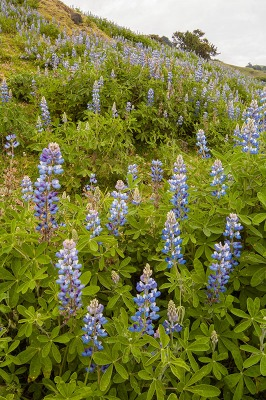 Photo of Lupines growing in the highlands of tropical Costa Rica.