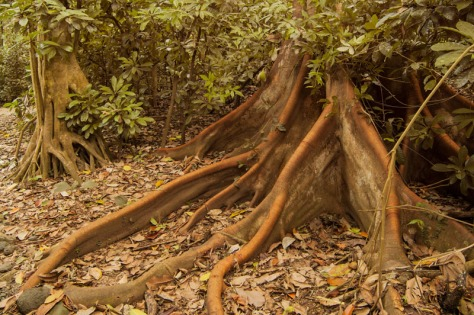 Photo of Tree butresses in Carara National Park, Costa Rica.