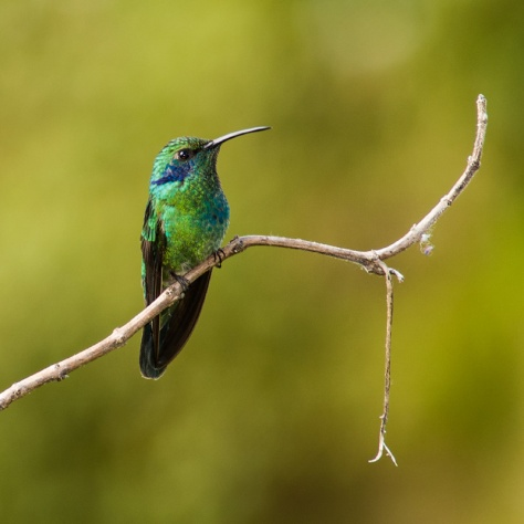 Photo of a Green Violet-ear hummingbird in San Gerardo de Dota, Costa Rica.