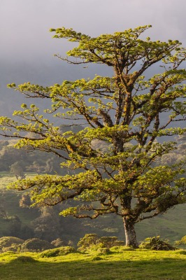 Photo of a Tree in the Vara Blanca Highlands, Costa Rica.