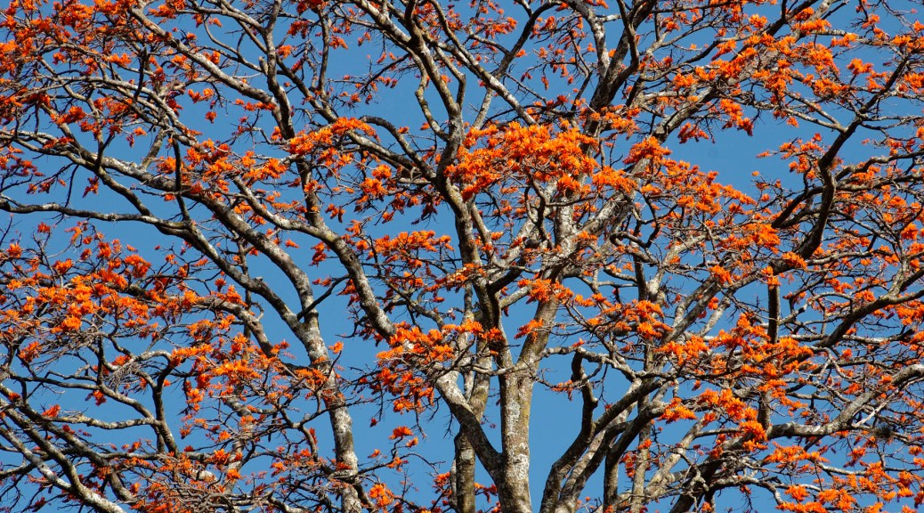 Photo of a Coral Tree in full bloom.