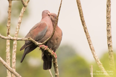 Photo of a Red-billed Pigeons couple