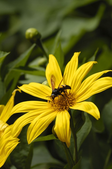 Photo of a wasp on a yellow flower.