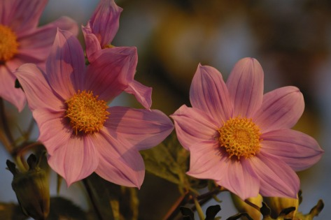 Photo of Tree Dahlias.