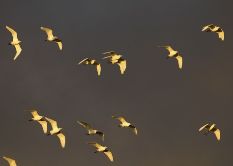 Photo of a flock of Cattle Egrets at sunset. Photo by Eduardo Libby