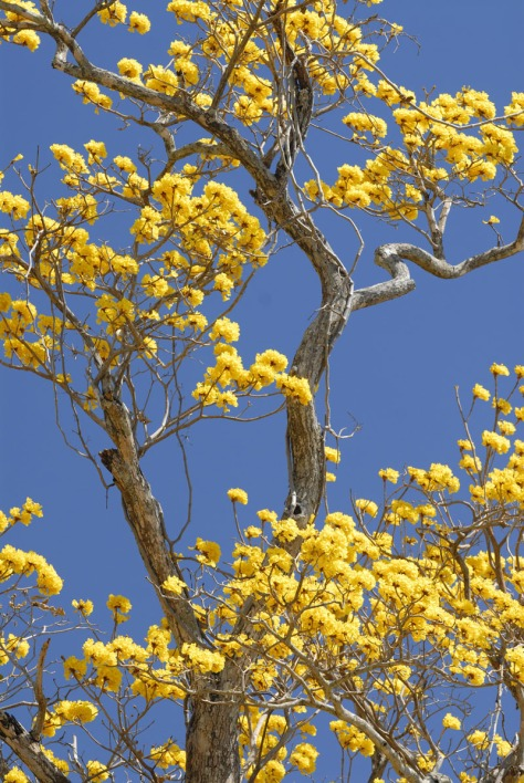 Photo of a Yellow Trumpet tree in bloom.
