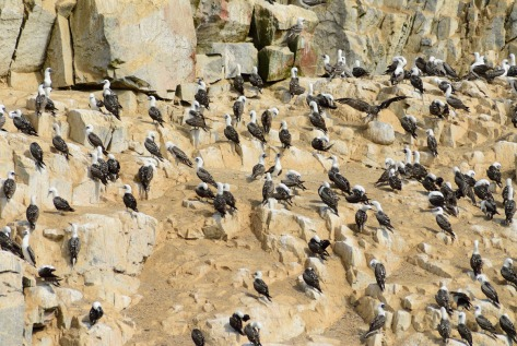 Photo of Peruvian Booby colony in Peru. Photo by Eduardo Libby