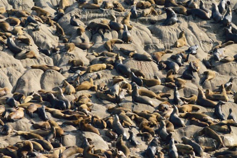 Photo of South American Sea Lions on Peru's Palomino Islands. Photo by Eduardo Libby.