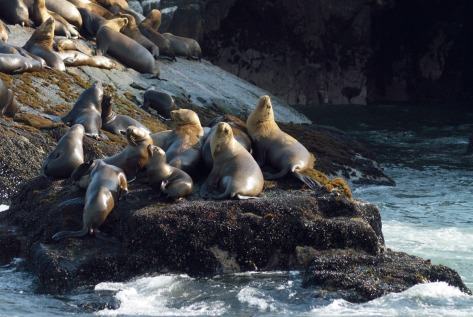 Photo of South American Sea Lions on a rock. Photo by Eduardo Libby