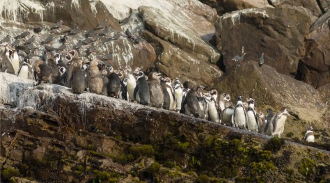 Photo of Humboldt Penguins in San Lorenzo's Island, Peru. Photo by Eduardo Libby