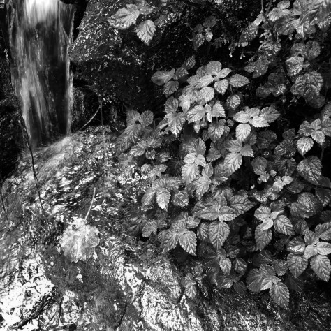 Black and white image of plants growing on a rock by a stream. Photo by Eduardo Libby.