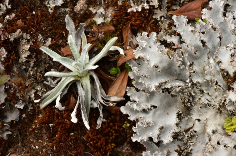 A lichen and a silvery bromeliad growing in the Paramo. Photo by Eduardo Libby.