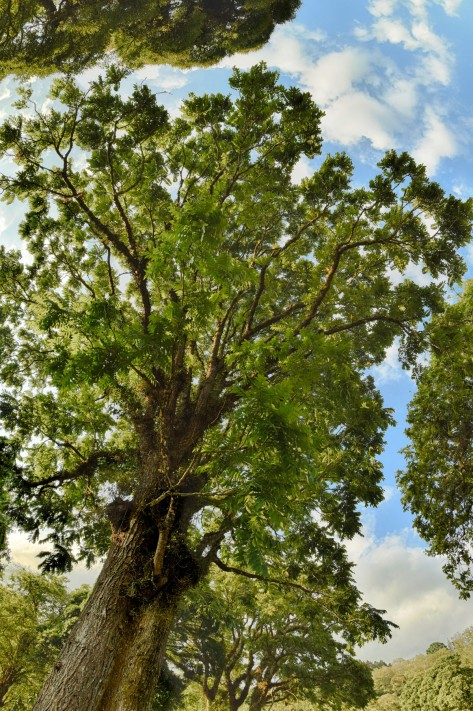 A tropical walnut tree (Juglans olanchana). Photo by Eduardo Libby.