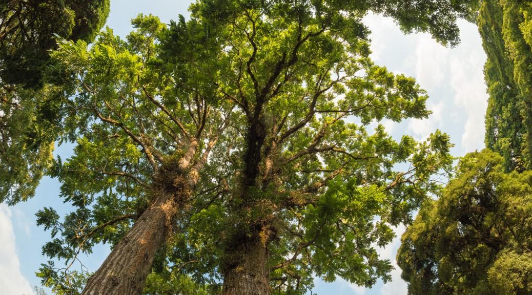 Tropical walnut trees (Juglans olanchana). Photo by Eduardo Libby.