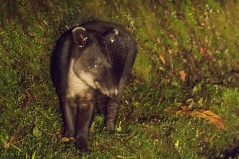 Image of a Baird's Tapir at night. Photo by Eduardo Libby
