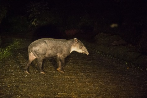 A Baird's Tapir crossing a road at night, lighted by the car's headlights. Photo by Eduardo Libby
