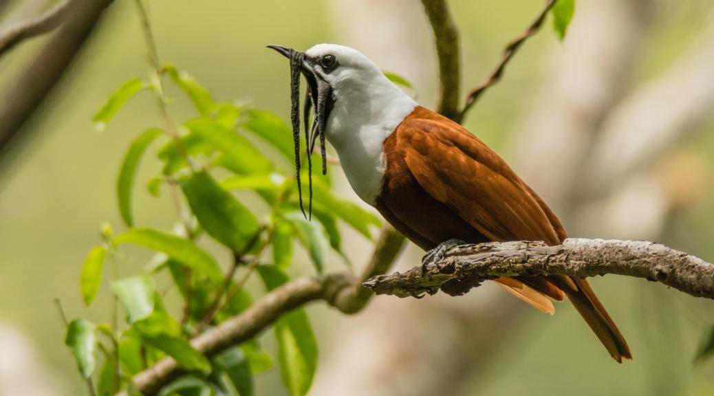 Image of a Three-wattled bellbird in the Monteverde Rainforest, Costa Rica. Photo by Eduardo Libby
