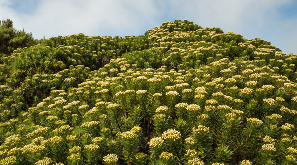 Image of the shrub Pentacalia firmipes in full bloom, with many white inflorescences. Cerro de la Muerte, Costa Rica. Photo by Eduardo Libby