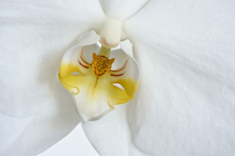 Detail of the orchid showing the pollinium. Photo by Eduardo Libby