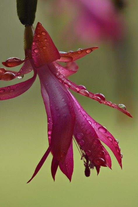 Close up of a red Easter Cactus flower. Photo by Eduardo Libby