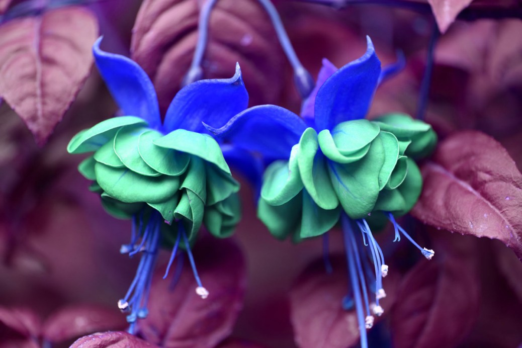Image of fuchsias in false color. Photo by Eduardo Libby