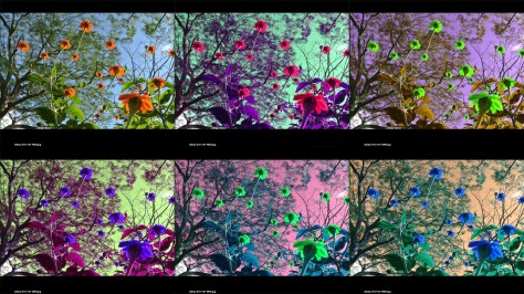 Images of Cosmos flowers in false color by rearranging the color channels. Photo by Eduardo Libby