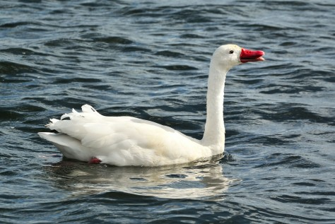 Image of a Coscoroba Swan in Lake Argentino. Photo by Eduardo Libby