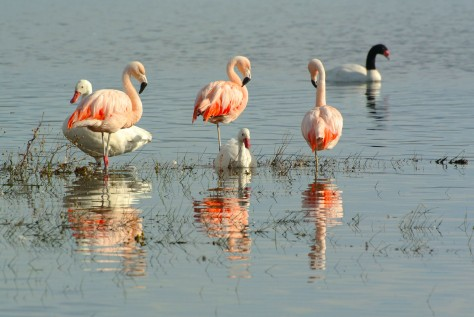 Image of Chilean Flamingos in Lake Argentino. Photo by Eduardo Libby