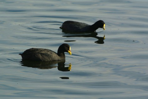 Image of a Red-gartered Coot. Photo by Eduardo Libby