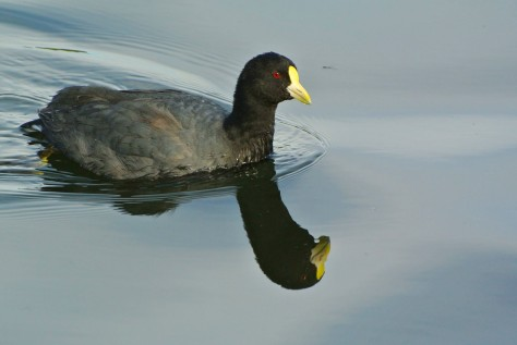 Image of a White-winged coot in Lake Argentino, near El Calafate. Photo by Eduardo Libby