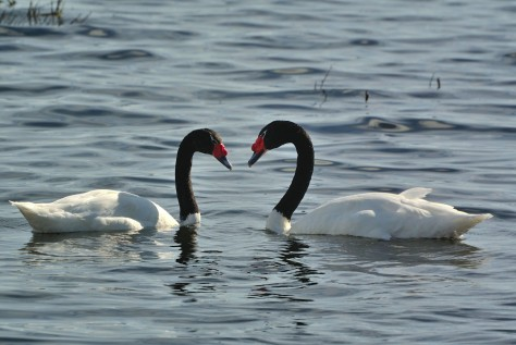 A couple of Black-necked Swans in Lake Argentino, El Calafate. Photo by Eduardo Libby