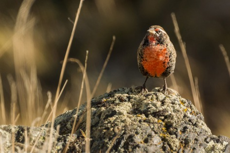 Image of a Patagonian Long-tailed Meadowlark near El Calafate, Argentina. Photo by Eduardo Libby