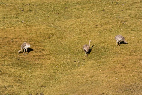 image of Lesser Rheas grazing on a distant hill. Photo by Eduardo Libby