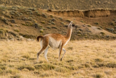 Image of a Chulengo or young Guanaco. Photo by Eduardo Libby
