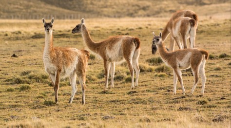 Image of Guanacos in Patagonia, near El Calafate. Photo by Eduardo Libby