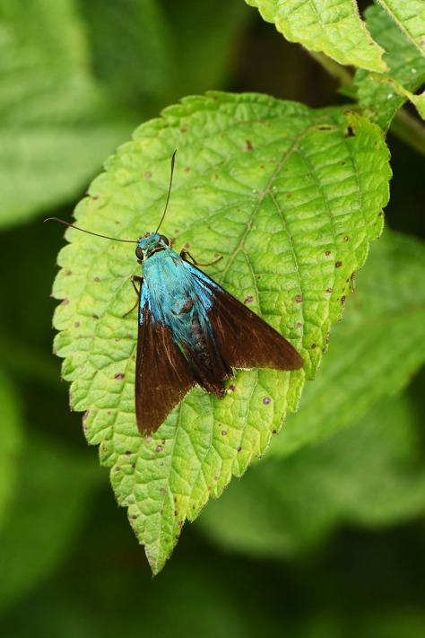 Skipper butterfly ahowing iridescent hairs. Photo by Eduardo Libby