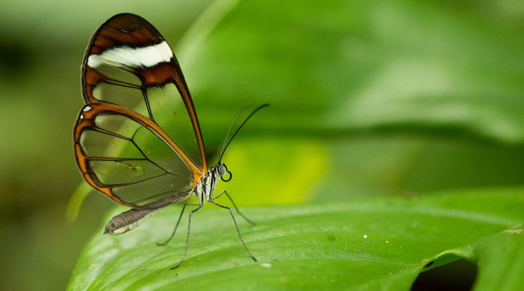 Crystal-winged butterfly (Ithomiinae). Photo by Eduardo Libby