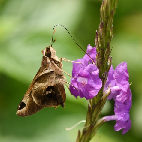 Skipper butterlfy on a Stachytarpheta flower showing proboscis. Photo by Eduardo Libby
