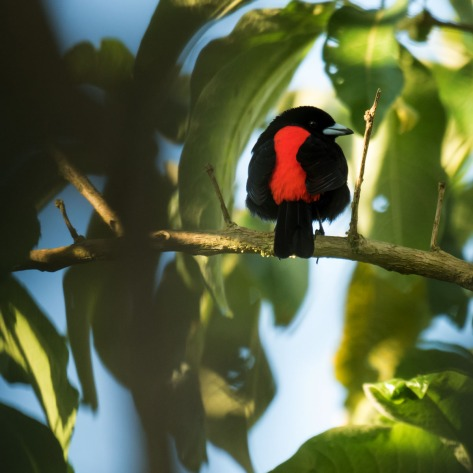 Passerini's Tanager. Photo by Eduardo Libby