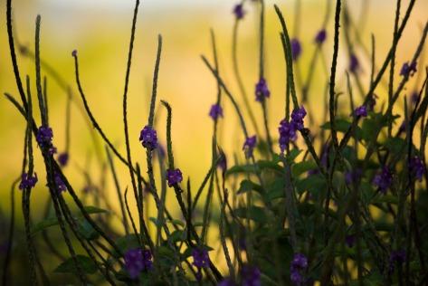 Stacchytarpheta shrub in late afternoon. Photo by Eduardo Libby