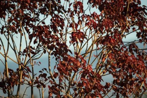 Barabbas tree (Euphorbia cotinifolia). Photo by Eduardo Libby