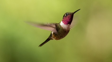 Magenta-throated Woodstar showing structural color. Photo by Eduardo Libby