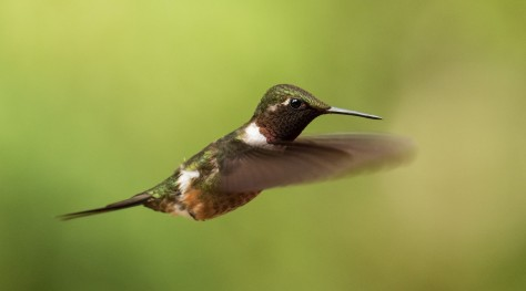 Hovering Magenta-throated Woodstar. Photo by Eduardo Libby
