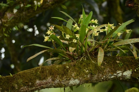 Orchids on a tree branch in northern Costa Rica. Photo by Eduardo Libby.