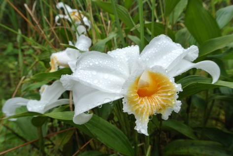 One-day flower, a Sobralia species. Photo by Eduardo Libby