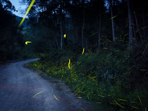 As darkness falls over the road banks many fireflies take off. Photo by Eduardo Libby