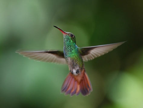 Hovering hummingbird. Photo by Eduardo Libby