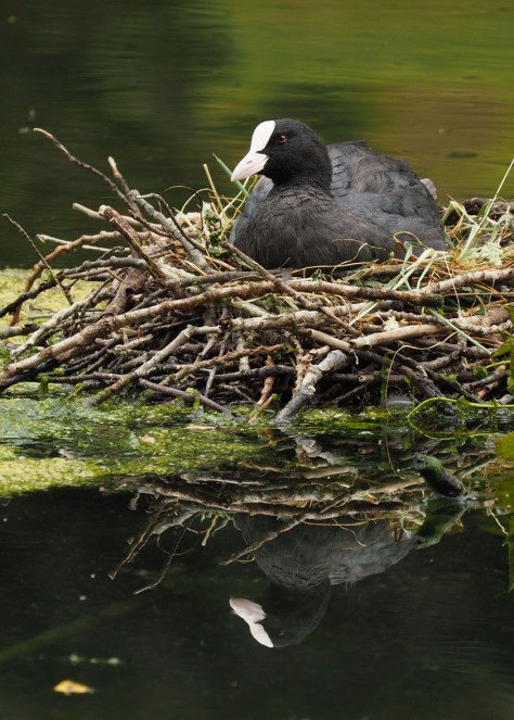 Eurasian Coot. Photo by Eduardo Libby